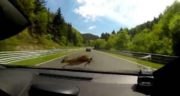 Megane RS vs jeleń